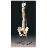 ANA-A59-8 flexible spine model STAND ONLY