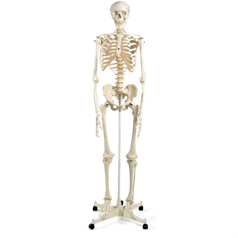 Anatomical Mr Basic Skeleton Model on Stand